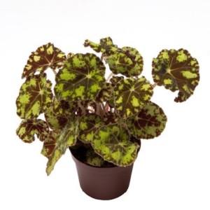 Begonia bowerae 'Tiger' (Gasa DK)