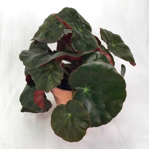 Begonia x erythrophylla (Gasa DK)