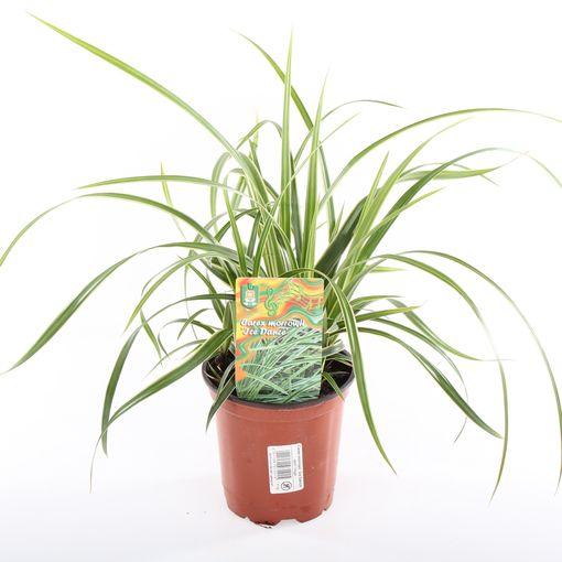 Carex morrowii 'Ice Dance' (Experts in Green)
