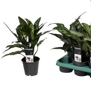 Aglaonema MIX (JoGrow B.V.)