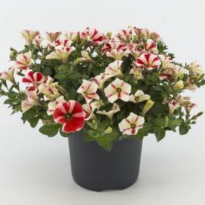 Petunia PEPPY MIX (Kwekerij Baas)