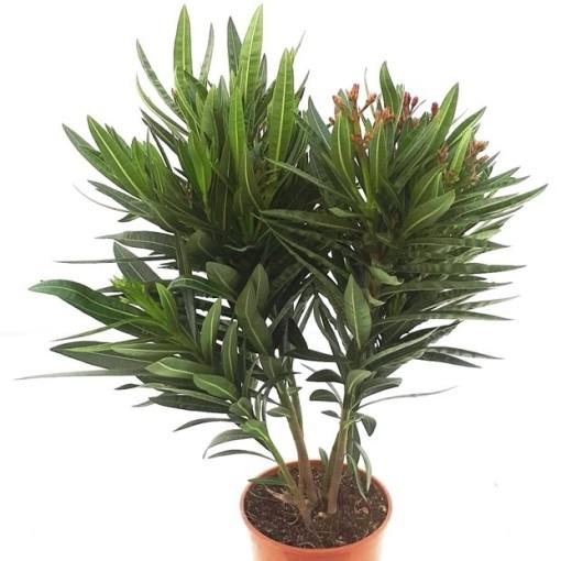Nerium oleander (RM Plants)