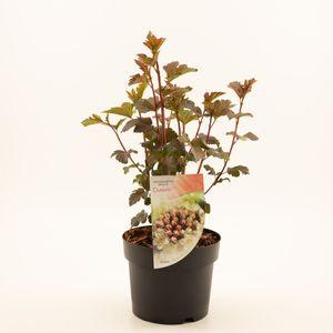 Physocarpus opulifolius 'Diabolo' (Dool Botanic)