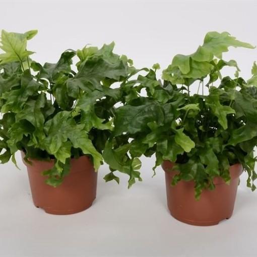 x Phlebosia 'Nicolas Diamond' (Bunnik Plants)
