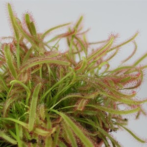 Drosera capensis (Stricker Plants)