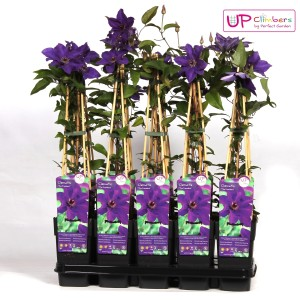 Clematis 'The President' (Hoogeveen Plants)