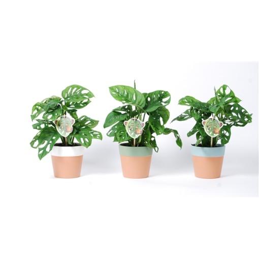 Monstera obliqua 'Monkey Leaf' (Van der Arend Tropical Plantcenter)