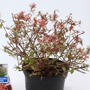 Abelia x grandiflora SUNSHINE DAYDREAM (About Plants Zundert BV)