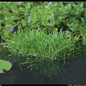 Lilaeopsis brasiliensis (Moerings Waterplanten)