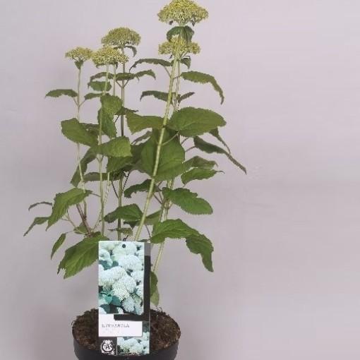 Hydrangea arborescens 'Annabelle' (Jesper Mathot Potcultures)