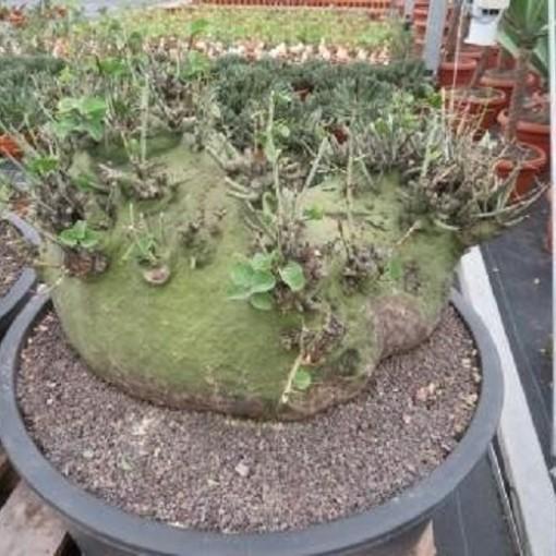 Adenia spinosa (John De Wilde bvba)