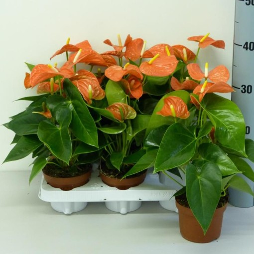 Anthurium ORANGE CHAMPION (Experts in Green)