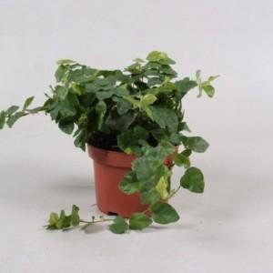 Ficus pumila 'Green Sunny'
