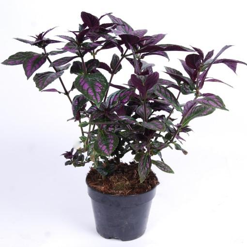 Strobilanthes dyeriana (Van der Arend Tropical Plantcenter)