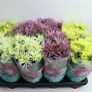 Chrysanthemum ANANSI MIX