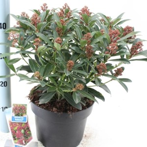 Skimmia japonica RUBESTA
