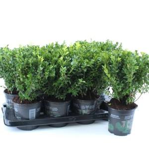 Buxus sempervirens (About Plants Zundert BV)