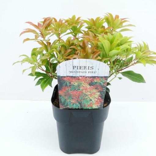 Pieris japonica 'Mountain Fire' (Hooftman boomkwekerij)
