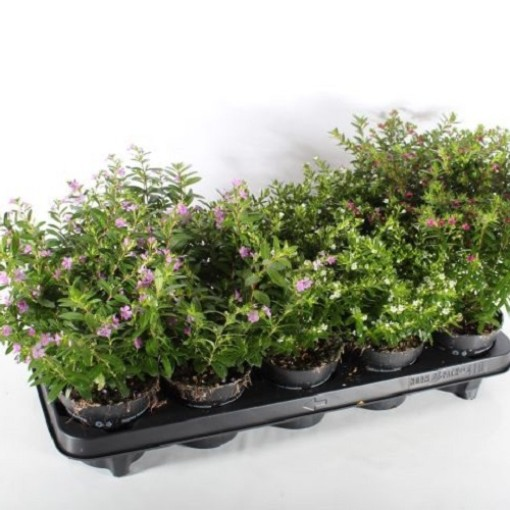Cuphea hyssopifolia MIX (Experts in Green)