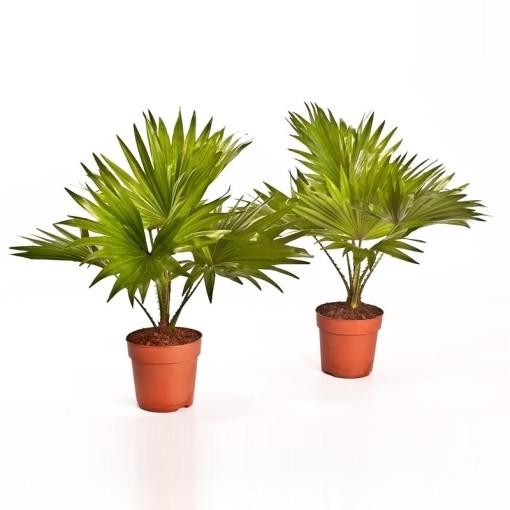 Livistona rotundifolia (Bunnik Plants)