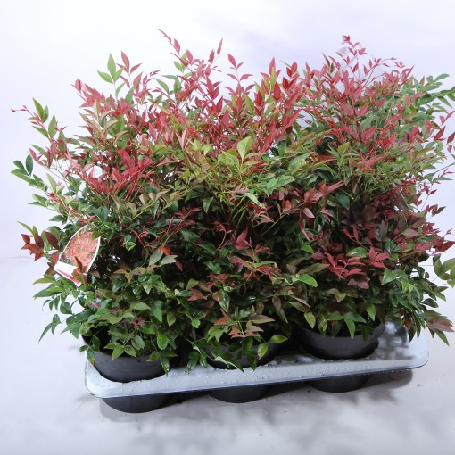 Nandina domestica OBSESSED / OBSESSION (Experts in Green)