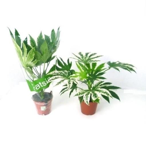 Fatsia japonica 'Spider's Web' (JK Plant)