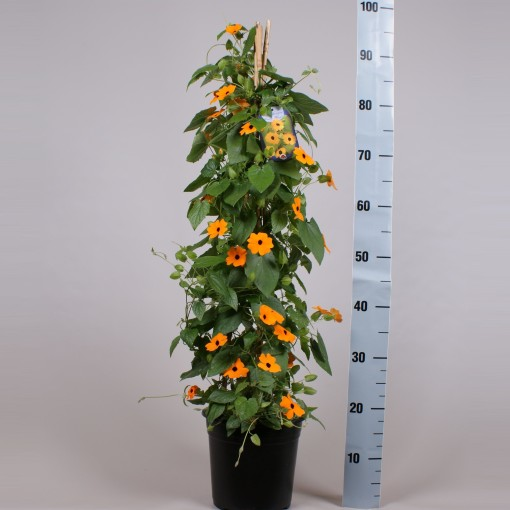 Thunbergia alata 'New Orange' (Gebr. Seuren Rozenkwekerijen BV)