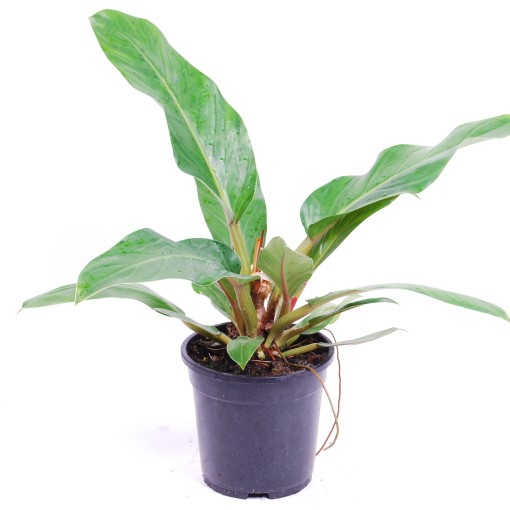 BOTANICLYZimmerpflanze 70 cmPhilodendron ... Philodendron XanaduHöhe