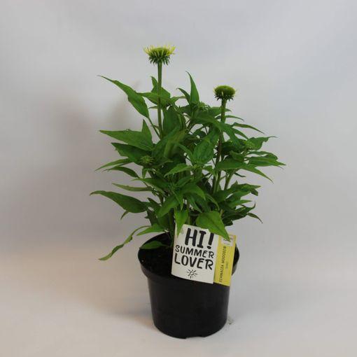 Echinacea MOOODZ SHINY (Rijnbeek Boomkwekerijen B.V.)