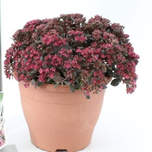 Sedum 'Cherry Tart' (About Plants Zundert BV)