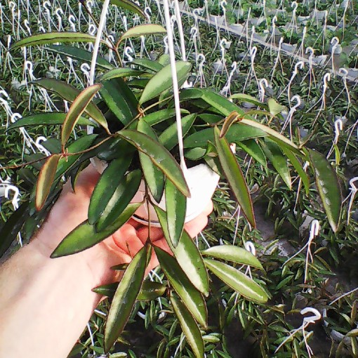 Hoya longifolia 'China Beans' (Meyst Werner, De)