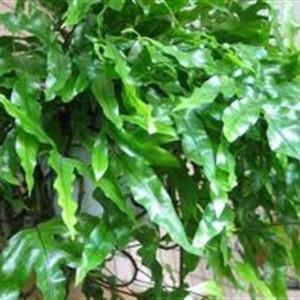 Microsorum diversifolium (Ruhé Varens B.V.)