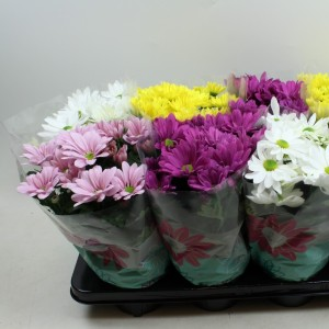 Chrysanthemum BREEZE MIX