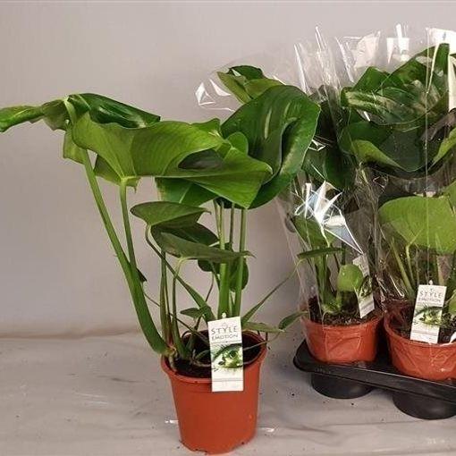 Monstera deliciosa (Westland Plant)
