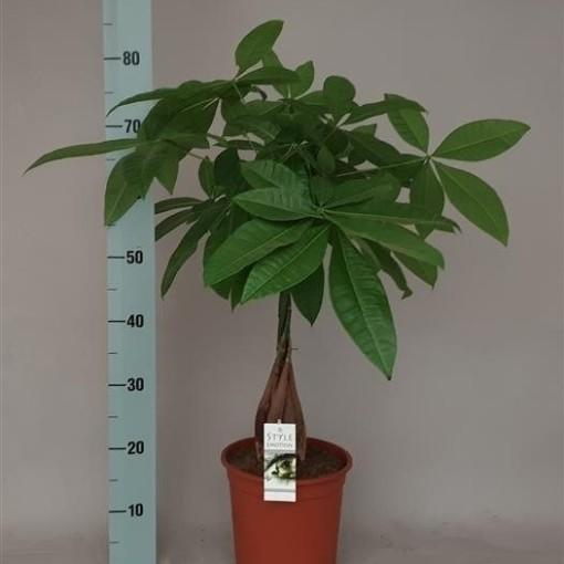 Pachira aquatica (Westland Plant)