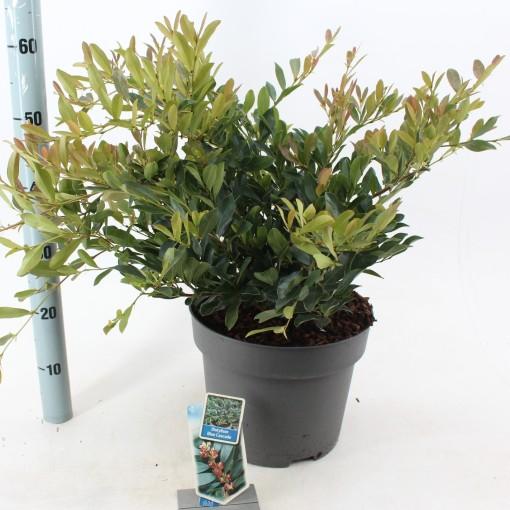 Distylium BLUE CASCADE (About Plants Zundert BV)