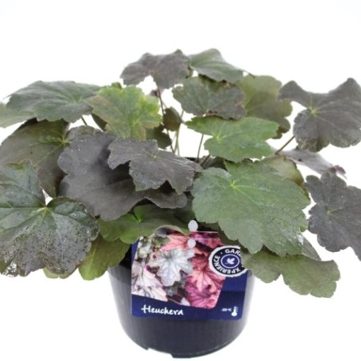 Heuchera micrantha 'Palace Purple' (Noordpoel, Kwekerij de)