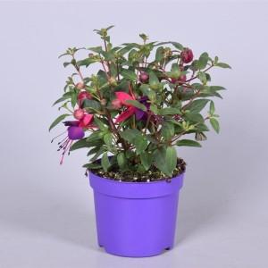Fuchsia BELLA FUCHSIA SACHA