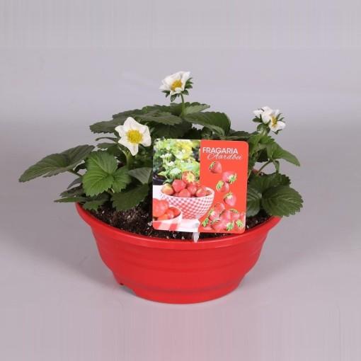 Fragaria x ananassa 'Beltran' (Adrichem Potplanten)