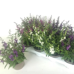 Angelonia angustifolia MIX (Experts in Green)