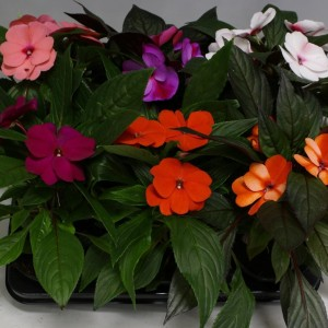 Impatiens NEW GUINEA MIX (Kwekerij Mariënoord b.v.)