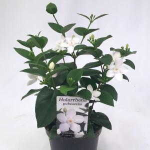 Holarrhena pubescens (Gasa DK)
