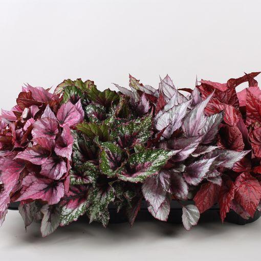 Begonia BELEAF MIX (Berghoef Plants)