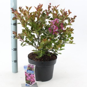 Lagerstroemia indica WITH LOVE ETERNAL