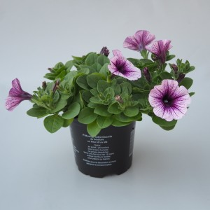 Petunia SWEETUNIA PURPLE VEIN (Sonneveld Plants)