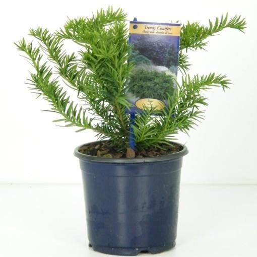 Taxus baccata 'Repandens' (Vredebest, Kwekerij)