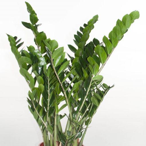 Zamioculcas zamiifolia (Ammerlaan, The Green Innovater)