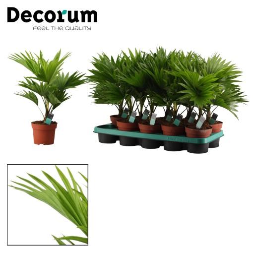 Livistona rotundifolia (Duijn-Hove B.V. , Kwekerij)