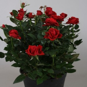 Rosa FAVOURITE ROSES MIX (Vireõ Plant Sales)