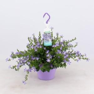 Campanula poscharskyana ADANSA BLUE (Kwekerij Montis Zuidplas B.V.)